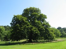 Large Beech Tree