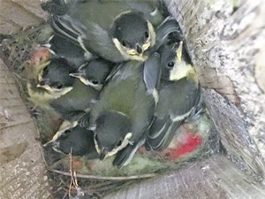 Young birds in Nest Box