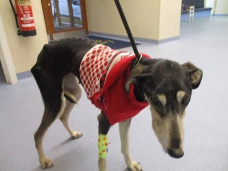 Hope, a small emaciated dog wearing a little red sweater.
