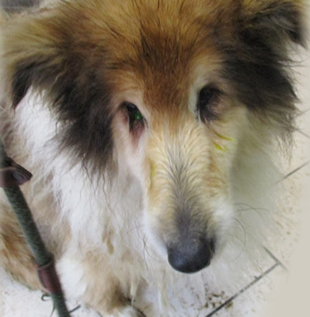 A sad Rough Collie rescued by the Neighbourhood Wardens