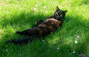 Black cat rolling around in the grass